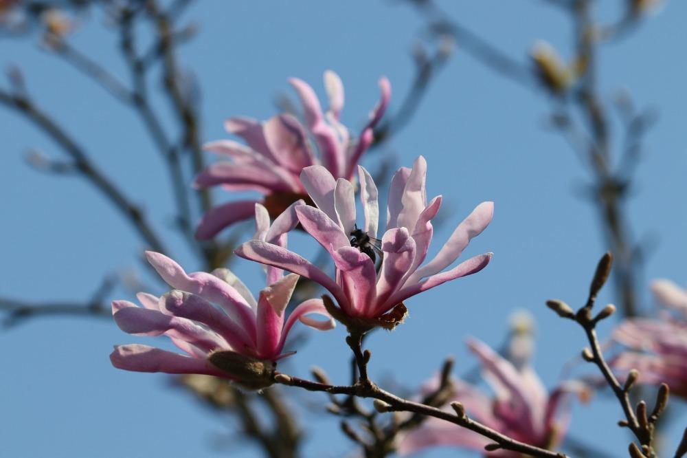 magnolia-4105875_1920.jpg